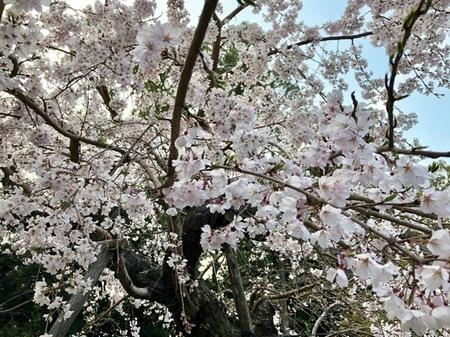 2019 大阪 離宮の水 水無瀬神宮 桜 (2).jpg