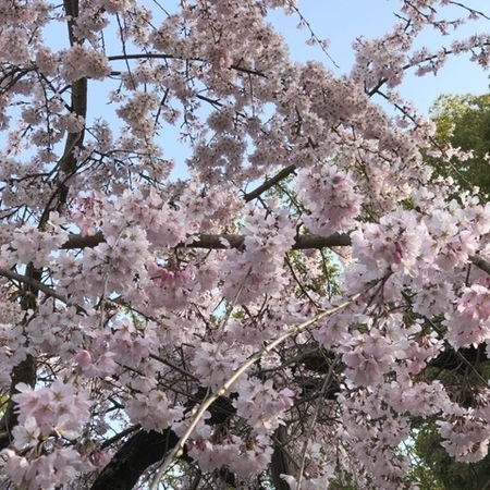 2020.3.17 水無瀬神宮 枝垂れ桜.JPG