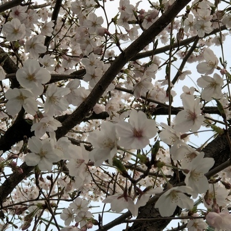 2020年4月 桜.JPG