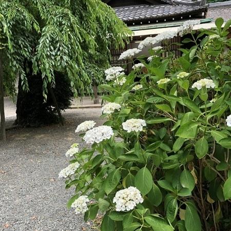 2020年6月 大阪 離宮の水 水無瀬神宮 あじさい ときめきな日々.JPG