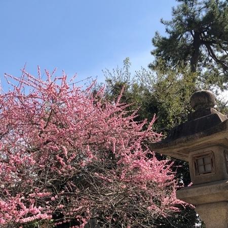 京都 北野天満宮 梅 (4).JPG
