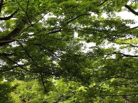 京都 宇治 平等院鳳凰堂 新緑.JPG