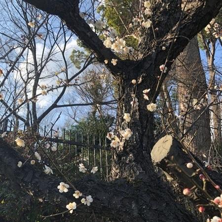京都北野天満宮梅 (11).JPG