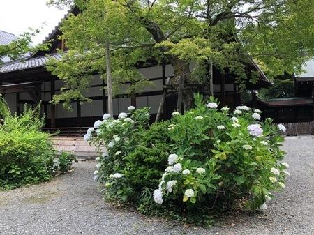 大阪 島本町 離宮の水 水無瀬神宮 あじさい.JPG