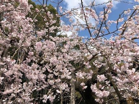 大阪 離宮の水 水無瀬神宮 桜.jpg