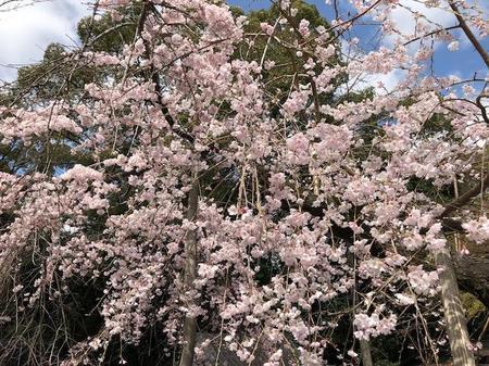 大阪 離宮の水 水無瀬神宮 桜 (2).jpg