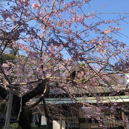 大阪 離宮の水 水無瀬神宮桜2020.JPG