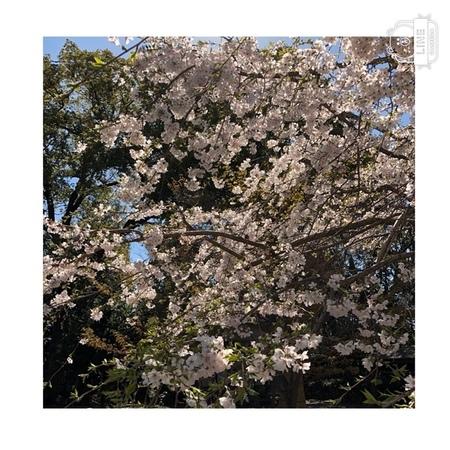 大阪 離宮の水 水無瀬神宮桜2020 (3).JPG