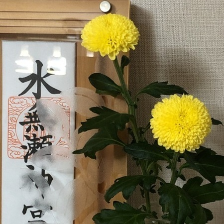 重陽の節句 ピンポンマム.JPG